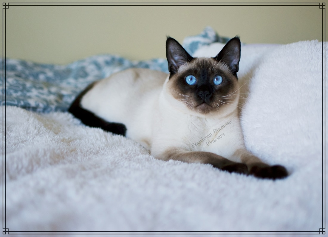 Kings - SOUTHRON SIAMESE PLEASERS-Siamese Kittens For Sale in ...