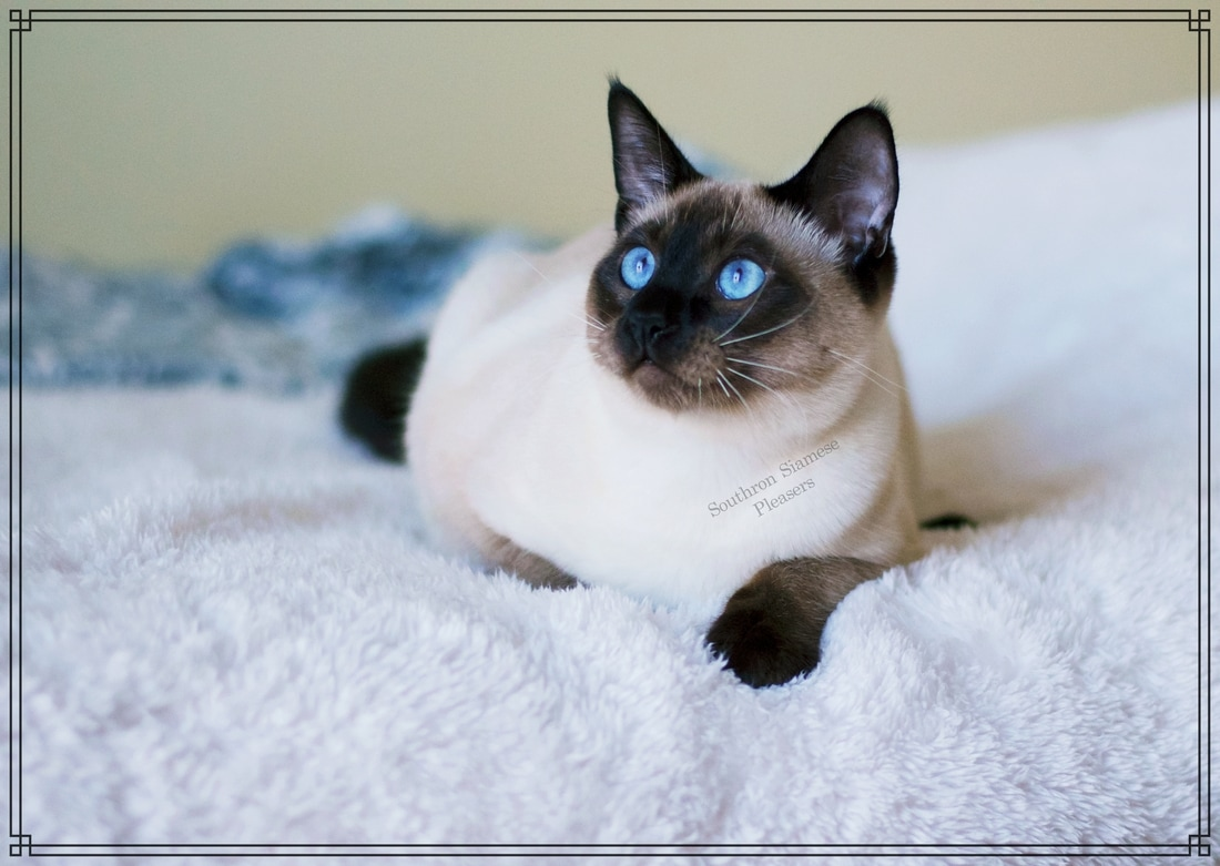 Kings SOUTHRON SIAMESE PLEASERS Siamese Kittens For Sale in